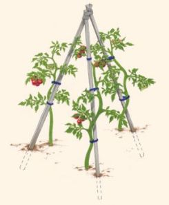 This is my preferred method for staking tomato plants to support their growth. It's effective and it looks great too. You can purchase long wood stakes or bamboo rods at your local home improvement store and reuse them year after year.